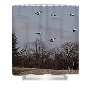 American Pelican Fly-over Shower Curtain