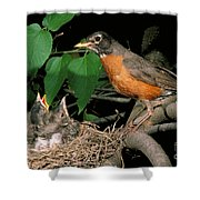 American Robin Feeding Its Young Shower Curtain