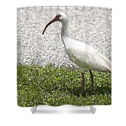 American White Ibis Poster Look Shower Curtain