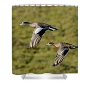 American Wigeon Pair In Flight Shower Curtain