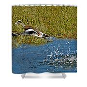 American Wigeon Taking Off Shower Curtain