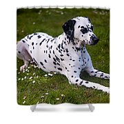 Among The Daisies. Kokkie. Dalmation Dog Shower Curtain