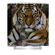 Amur Tiger Watching You Shower Curtain