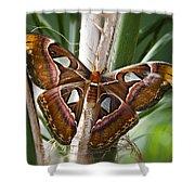 An Atlas Moth  Shower Curtain
