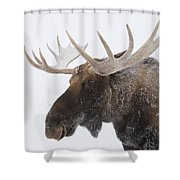 An Elk Cervus Canadensis With Snow Shower Curtain