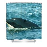 An Orca Surfaces  Shower Curtain
