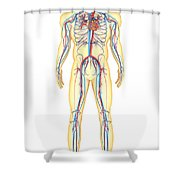 Anatomy Of Human Body And Circulatory Shower Curtain by Stocktrek Images