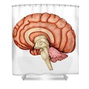 Anatomy Of Human Brain, Side View Shower Curtain