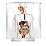 Anatomy Of Human Digestive System Shower Curtain