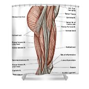 Anatomy Of Human Thigh Muscles Shower Curtain