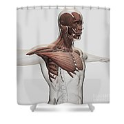 Anatomy Of Male Muscles In Upper Body Shower Curtain by Stocktrek Images