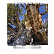 Ancient Bristlecone Shower Curtain