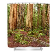 Ancient Forest - The Massive Giant Redwoods Sequoia Sempervirens In Redwood National Park. Shower Curtain