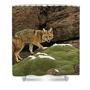 Andean Red Fox Altiplano Bolivia Shower Curtain