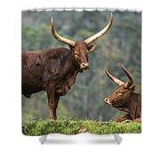 Ankole Longhorns Shower Curtain