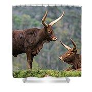 Ankole Longhorn 2 Shower Curtain