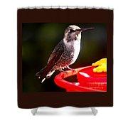 Anna's Hummingbird On Perch Shower Curtain