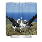 Antipodean Albatross Courtship Display Shower Curtain by Tui De Roy