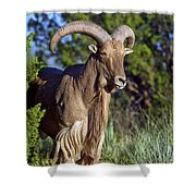 Aoudad Sheep  Shower Curtain