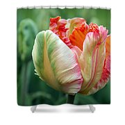 Apricot Parrot Tulip Shower Curtain