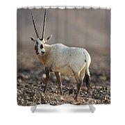 Arabian Oryx Oryx Leucoryx Shower Curtain