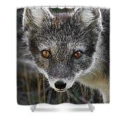 Arctic Fox In Summer Coat Shower Curtain