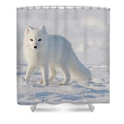 Arctic Fox Out On The Pack Ice Shower Curtain