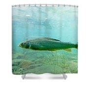 Arctic Grayling Or Thymallus Arcticus Underwater Shower Curtain