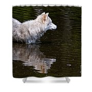 Arctic Wolf In Pond Shower Curtain
