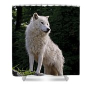 Arctic Wolf On Hill Shower Curtain