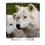 Arctic Wolf Picture 247 Shower Curtain