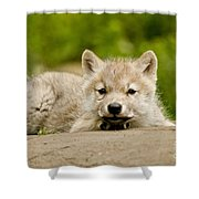 Arctic Wolf Pictures 1118 Shower Curtain