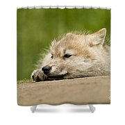 Arctic Wolf Pictures 1121 Shower Curtain