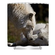 Arctic Wolf Pictures 1139 Shower Curtain