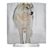 Arctic Wolf Pictures 1146 Shower Curtain