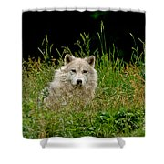 Arctic Wolf Pictures 1172 Shower Curtain