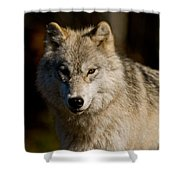 Arctic Wolf Pictures 1224 Shower Curtain