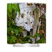 Arctic Wolf Pictures 1228 Shower Curtain