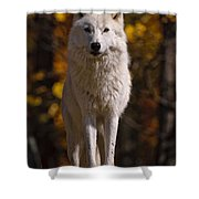 Arctic Wolf Pictures 33 Shower Curtain