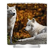 Arctic Wolf Pictures 34 Shower Curtain