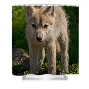 Arctic Wolf Pictures 345 Shower Curtain