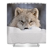 Arctic Wolf Pictures 417 Shower Curtain