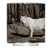 Arctic Wolf Pictures 512 Shower Curtain