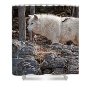 Arctic Wolf Pictures 525 Shower Curtain