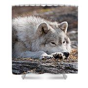 Arctic Wolf Pictures 526 Shower Curtain