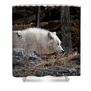Arctic Wolf Pictures 541 Shower Curtain