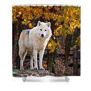 Arctic Wolf Pictures 709 Shower Curtain