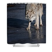 Arctic Wolf Pictures 766 Shower Curtain
