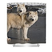 Arctic Wolf Pictures 812 Shower Curtain