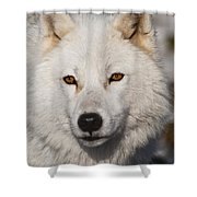 Arctic Wolf Pictures 814 Shower Curtain